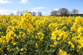 Oilseed Plants in Field